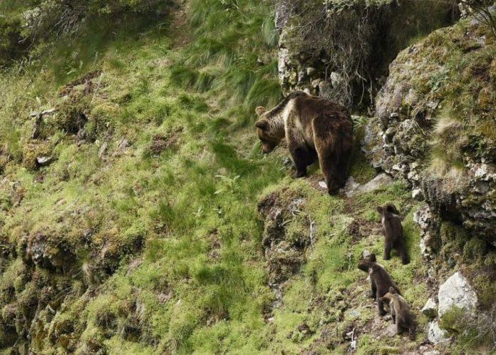 Un de cada tres osos analizados no estudo morreu por causas vinculadas á intervención humana. Foto: Fundación Oso Pardo.