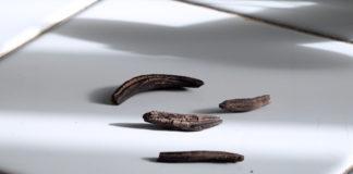 Varias mostras de 'Claviceps purpurea' o fungo que se forma no centeo, arredor do cal xira o documental. Imaxe: Illa Bufarda.