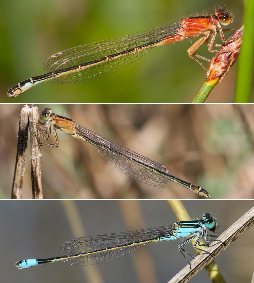 Femias de 'Ischnura pumilio', 'Ischnura elegans' e 'Ischnura ramburii'. Fotos: Adolfo Cordero.