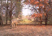 35 anos despois do accidente nuclear, a zona de exclusión de Chernóbil mantén unha das maiores densidades de lobo en Europa. Foto: REDFIRE Project / Nick Beresford, Sergey Gashchak.