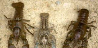 Exemplares do caranguexo autóctono Austropotamobius pallipes. Foto: José Vladimir Sandoval-Sierra.