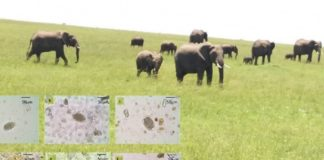 Parasitos estudadados na investigación, sobre unha imaxe de elefantes africanos. Foto: USC.