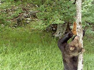 Un oso pardo retira a codia coa que os científicos taparon as marcas que deixara nunha árbore. Foto: CSIC.