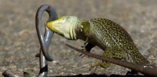 Duelo entre lagarto arnal e liscanzo no Barbanza. Imaxe: Ría de Noia.
