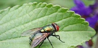 As moscas posúen unha capacidade extraordinaria para responder diante das posibles ameazas. Imaxe: Pixabay.