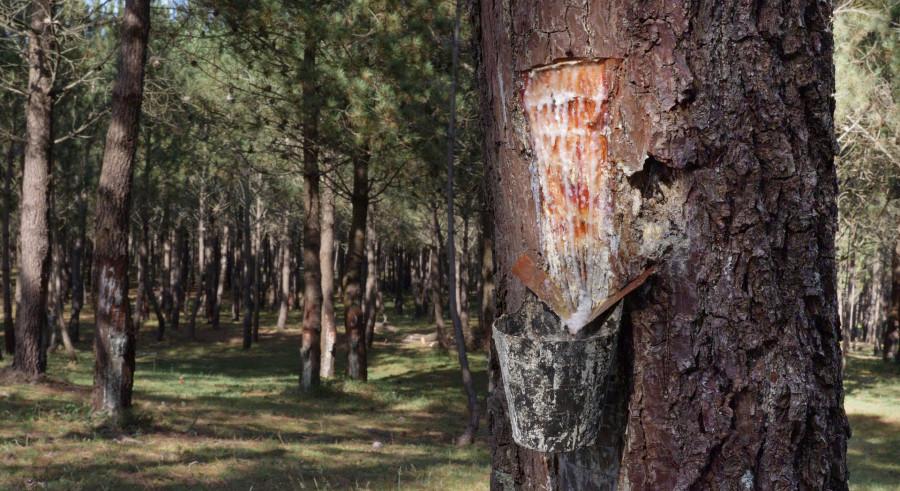Un dos exemplos estudados no proxecto é o de Baroña, en Porto do Son. Na imaxe, extracción de resina de piñeiros combinada con couto micolóxico e silvopastoreo. Imaxe: Adrián Capelo para a Fundación RIA.