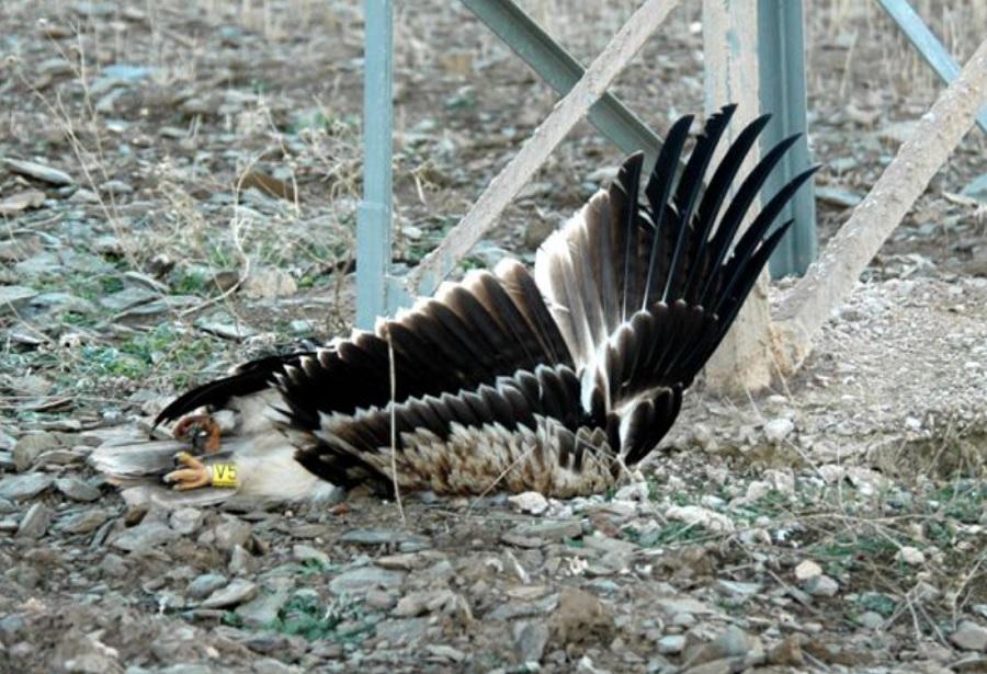Os impactos cos tendidos eléctricos son a principal causa de morte para especies ameazadas como a aguia imperial. Foto: SOS Tendidos Eléctricos.