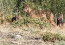 Imaxe dunha loba con dous cachorros obtida durante o traballo de campo deste censo. Foto: Pedro Alonso.