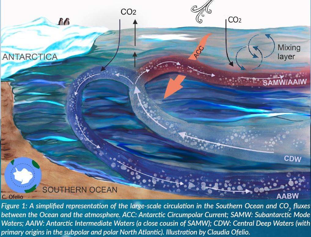 Esquema simplficado da circulación a gran escala no Océano Antártico e os fluxos de CO2 entre océano e atmosfera. ACC: corrente circumpolar antártica; SAM: Auga en modo subantártico; AAIW: augas intermedias do Antártico; CDW: augas centrais profundas. Ilustración de Claudia Ofelio.