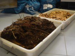 Mostras de biomasa usadas na elaboración de carbón. Foto: Duvi,