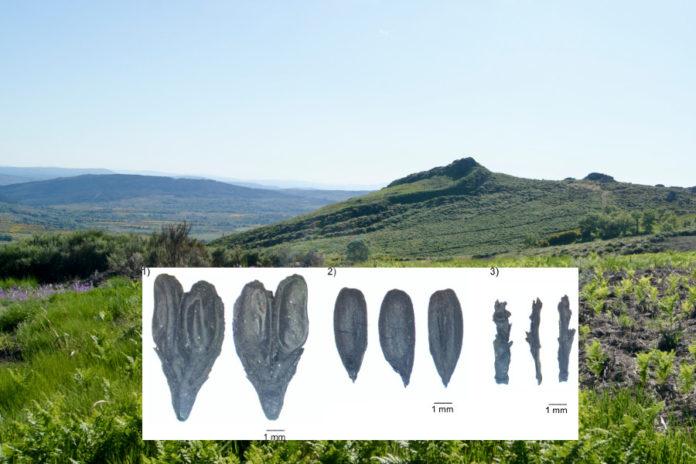 Vista do castro do Castelo Pequeno de Santigoso e, en primeiro termo, grans atopados nas escavacións. Imaxes cedidas por Andrés Teira.