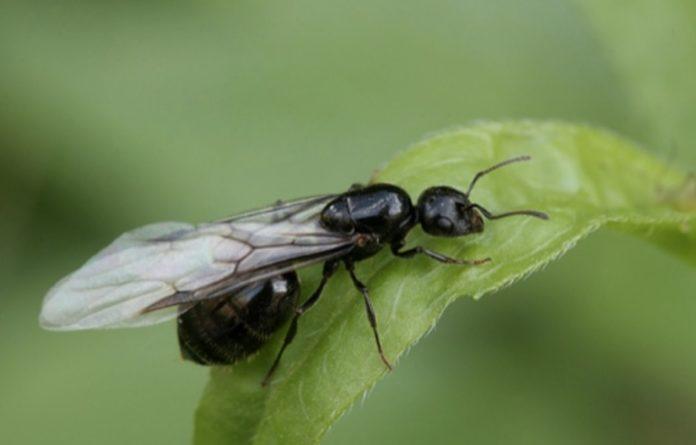 As formigas voadoras chaman a atención de moita xente cando emerxen dos formigueiros. Fonte: Reynés / CC-BY-SA-4.0.