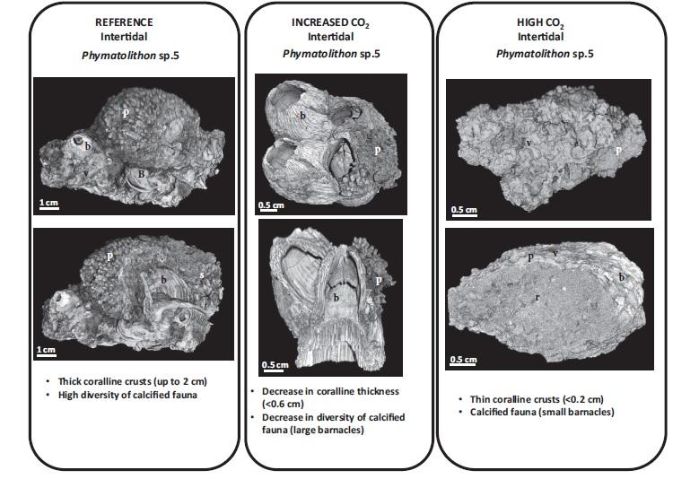Reconstrución en 3D das mostraxes de algas Pymatolithon e as concrecións de fauna calcificada arredordelas, tendo en contra tres escenarios: referencia, incremento de CO2 e nivel alto de CO2. Imaxes obtidas por tomografía computerizada na Estacion de Bioloxía Mariña de A Graña da USC.