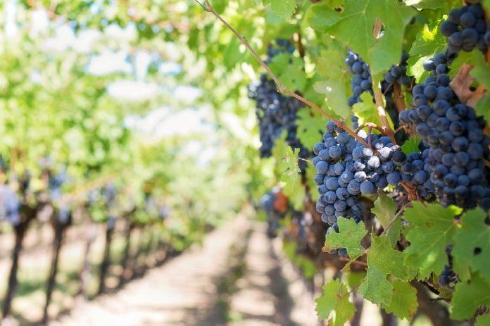 Os compostos analizados están presentes nos froitos e outras partes da vide e algunhas especies vexetais. Foto: Pixabay.
