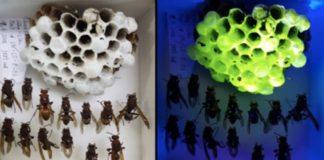 Os niños de avespa fluorescentes poden botar luz sobre o comportamento destas especies e mesmo achegar novos materiais bioluminescentes para a investigación. Fonte: Schöllhorn et al.