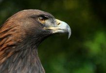 O traballo analizou os datos dos últimos 20 anos para coñecer o éxito reprodutivo da aguia real. Foto: Richard Bartz / CC BY-SA 2.5.