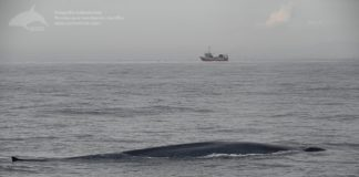 Unha das baleas azuis avistadas nos últimos días na costa galega. Foto: Bruno Díaz / BDRI.