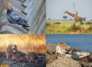 Catro das imaxes finalistas no Comedy Wildlife 2021.