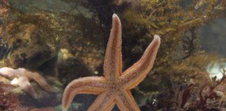 """A investigación usou como modelo as estrelas de mar """"Asterias Rubens"""". Foto: William Scot / CC BY-SA 2.5."""