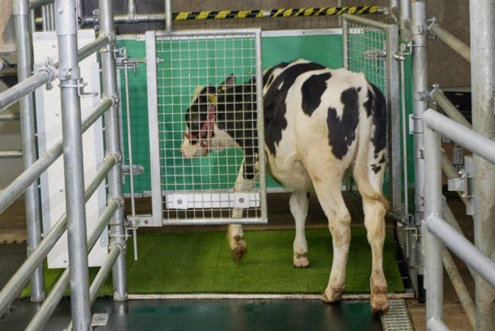O estudo demostra que se conseguiu ensinar ás vacas a evacuar nun lugar determinado. Foto: Instituto de Investigación de Bioloxía de Animais de Granxa.