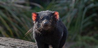 A poboación do diaño de Tasmania, que habita nesta illa australiana, viuse seriamente afectada nas últimas décadas por un tipo de cancro transmisible. Foto: Pixabay.